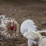 Nikmati Keuntungan Bermain Judi Sabung Ayam Online