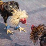 Panduan Cara Bermain Judi Sabung Ayam Online